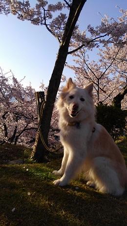 夢続桜.jpg